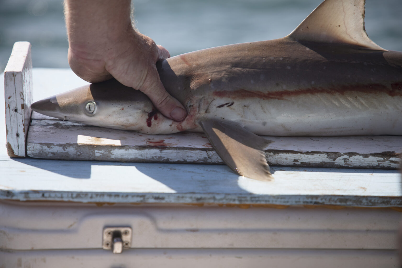 a researcher measures a shark on the edge of a boat