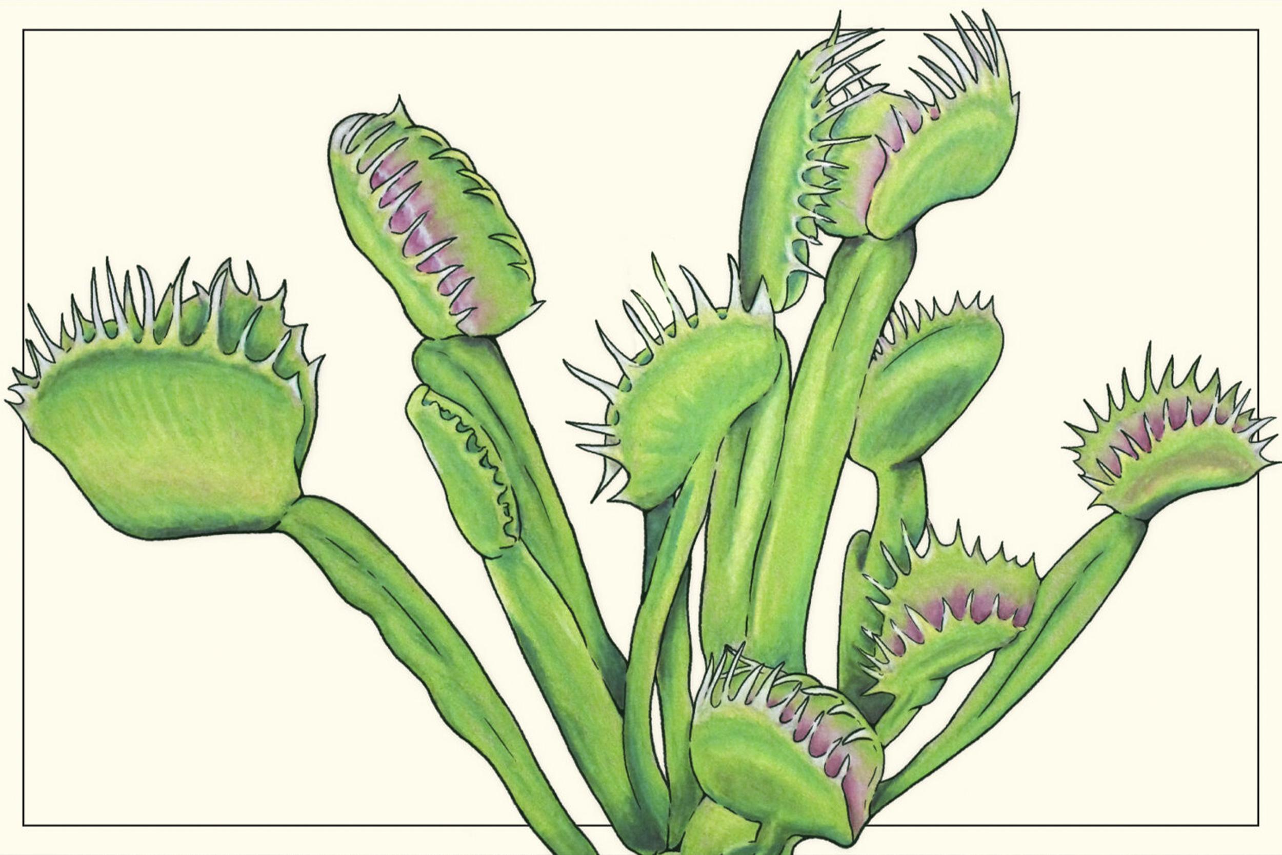 illustration of a Venus flytrap